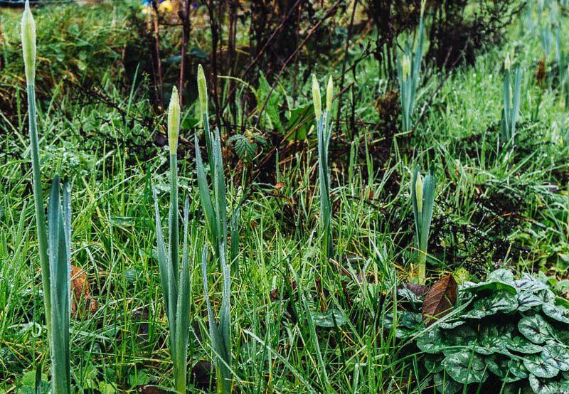 Daffodil buds in January garden