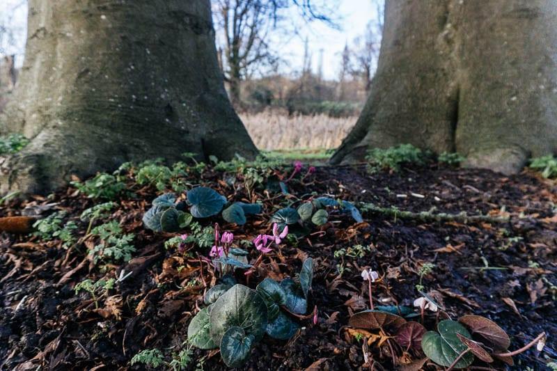 Hever Castle gardens cyclamen