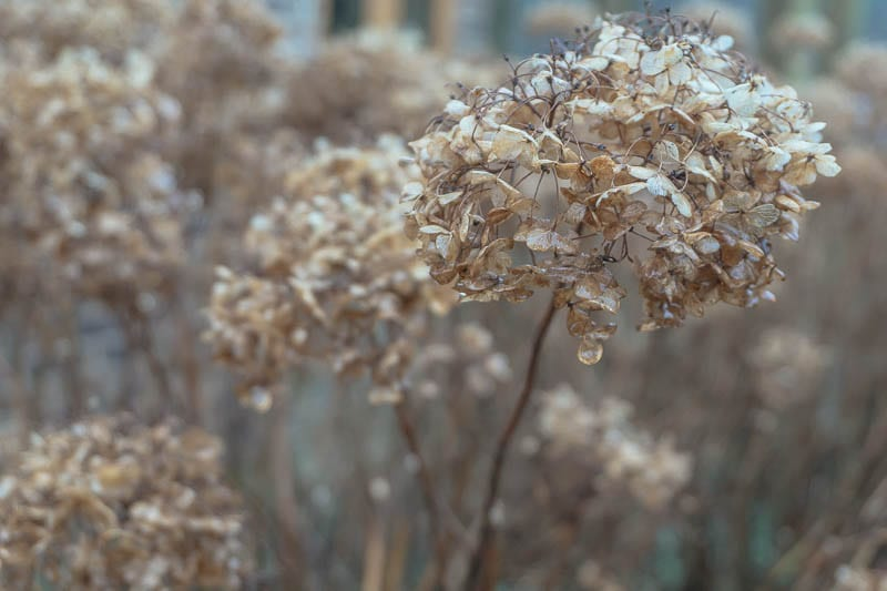 January garden brown hydrangeas