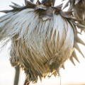 January Artichoke in winter