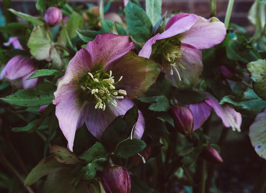 January Purple hellebores
