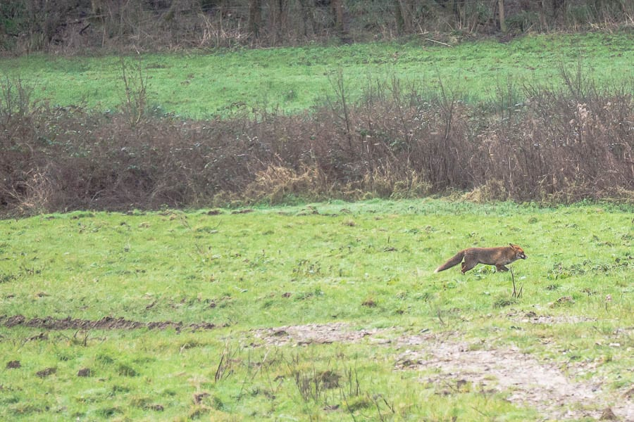 January fox in field
