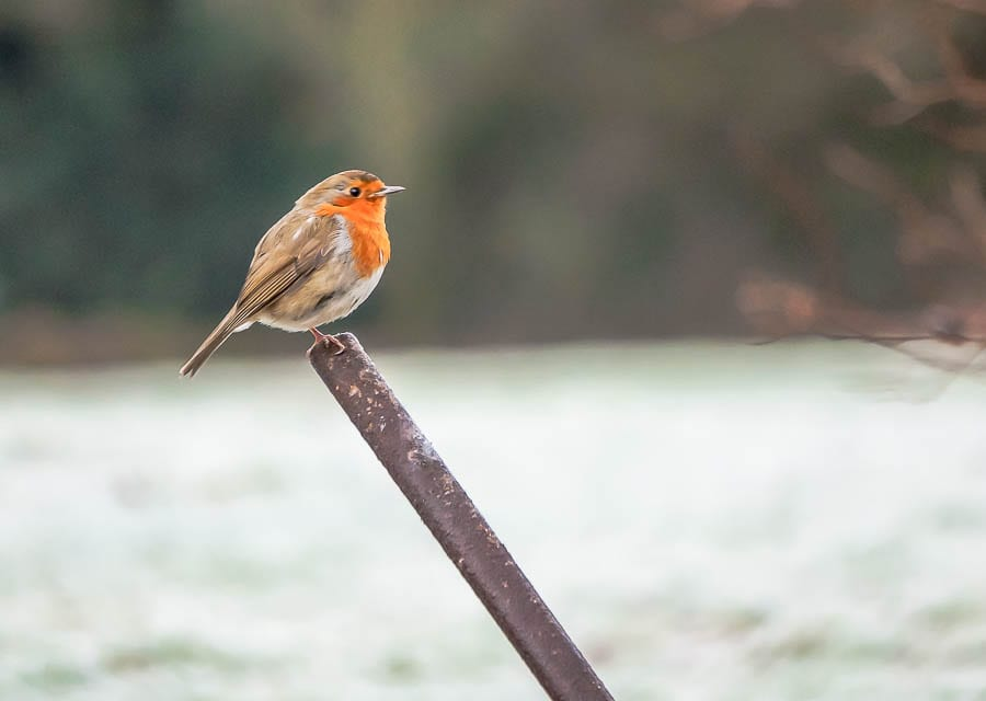 Robin on pole