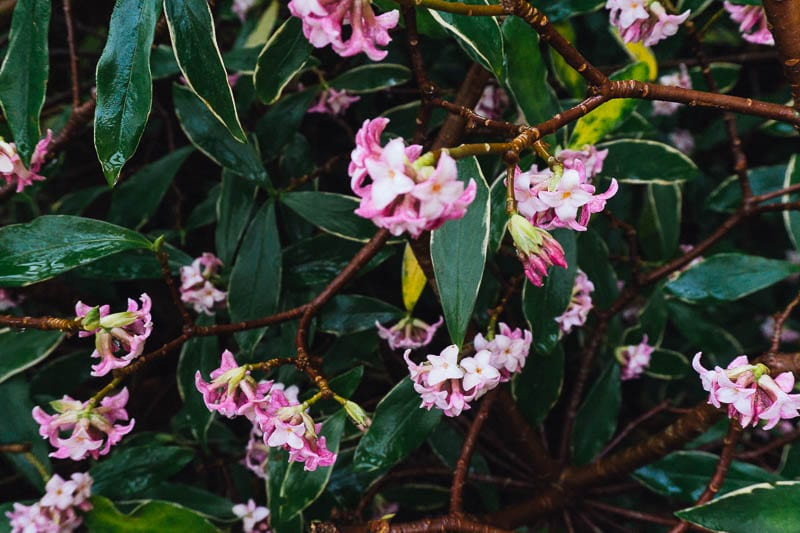Daphne shrub with small pink flowers January