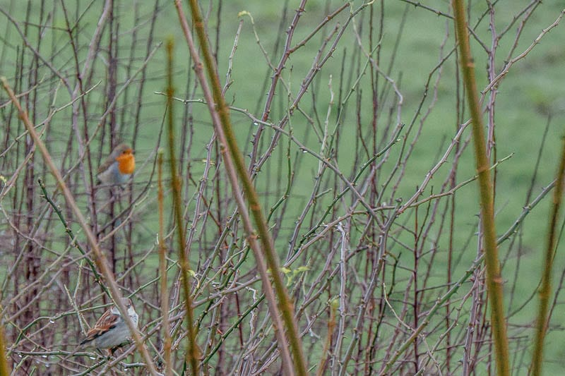 Sparrow and robin in hedge