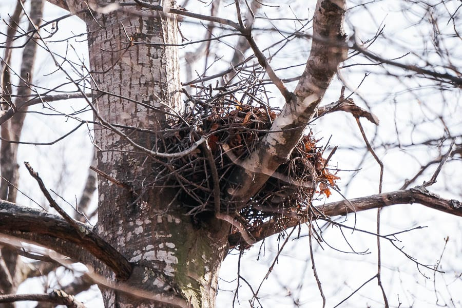 Birds nest in tree