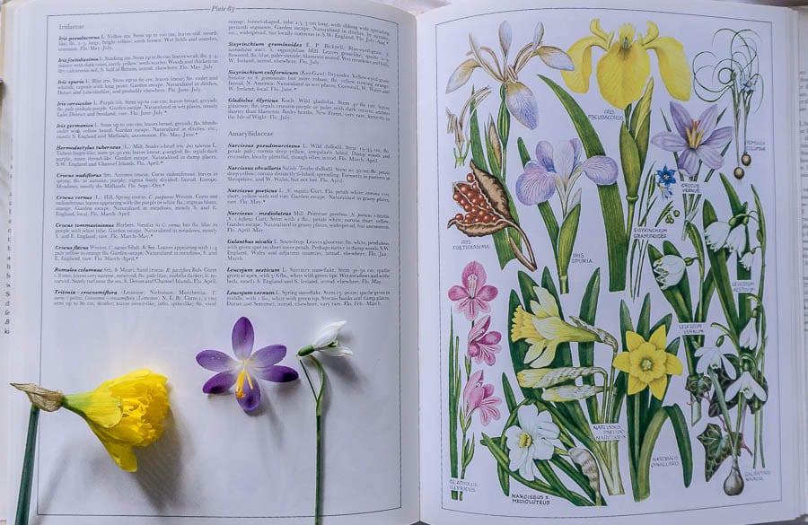 British Flora daffodil iris snowdrop