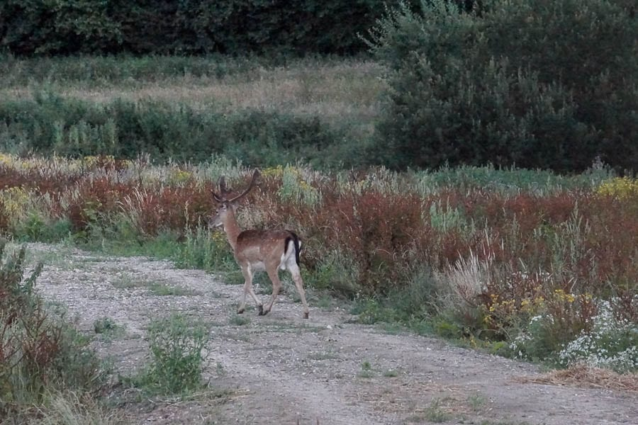 Stag deer on lane