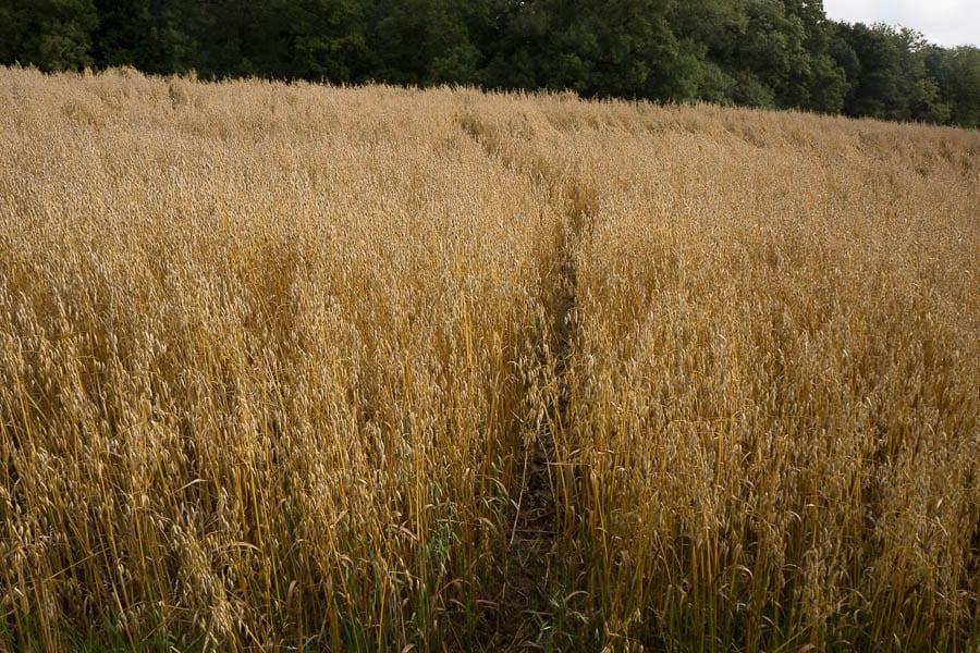 Deer path through field