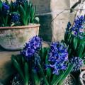 Gravetye February hyacinths in pots