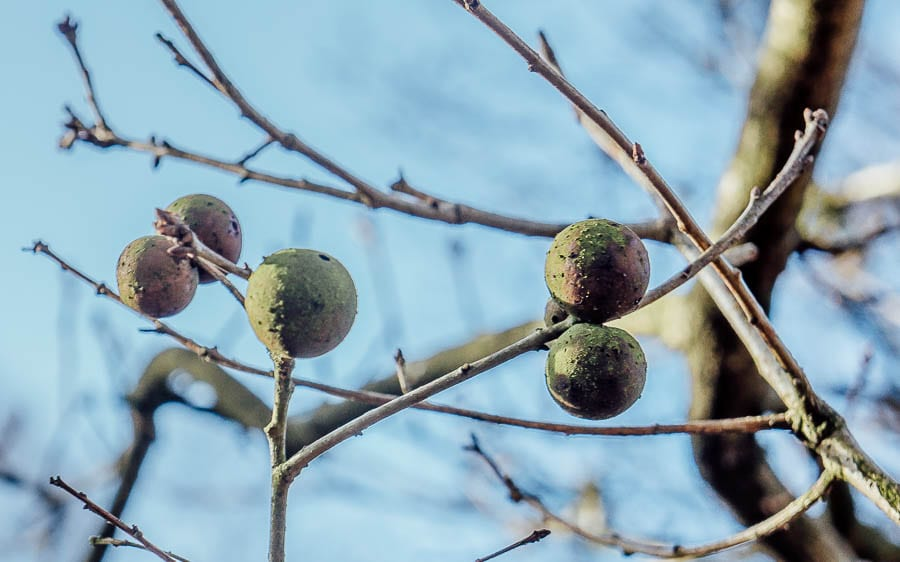 Oak galls Ashdown Forest