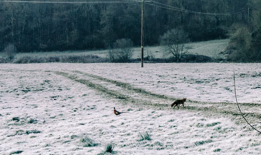 One frosty morning fox passes pheasant