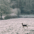 One frosty morning leaping deer
