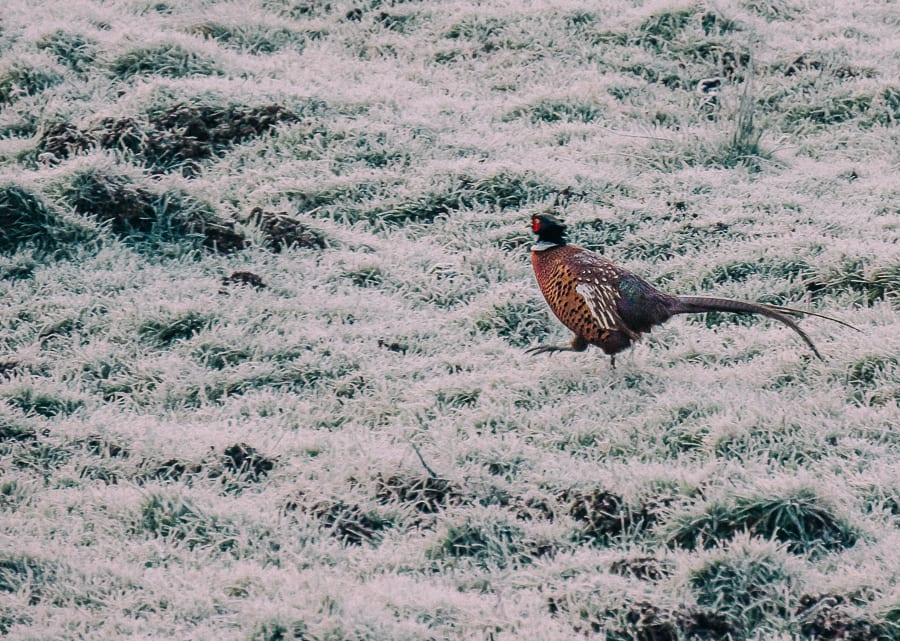 One frosty morning pheasant