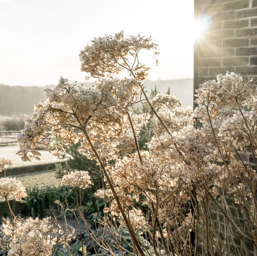 One frosty morning sunlight and hydrangeas