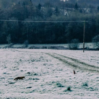 The Fox and the Pheasant