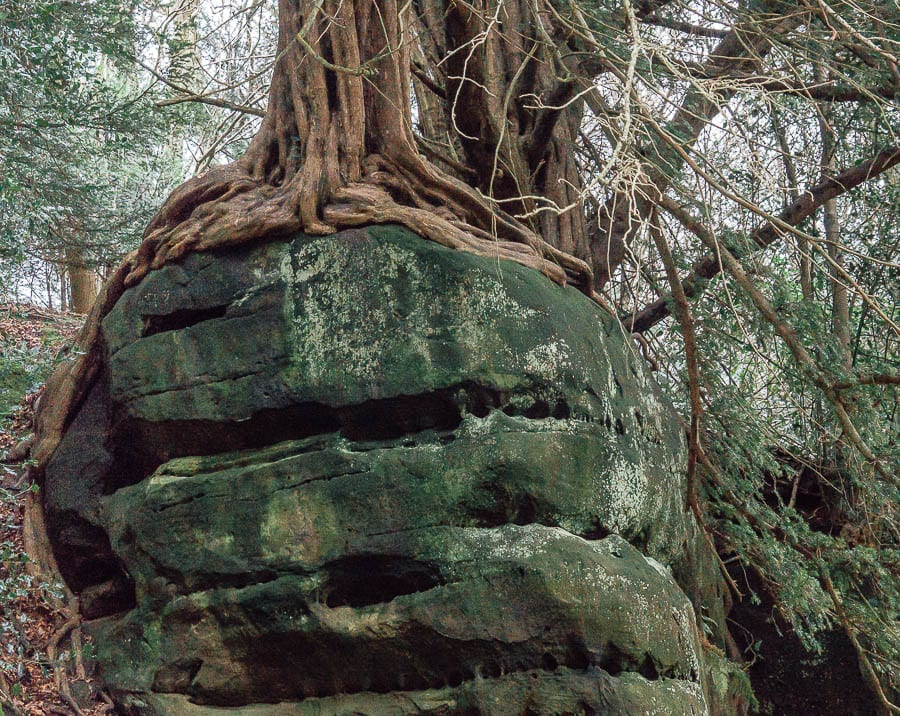 Wakehurst Rock Walk Yew and roots