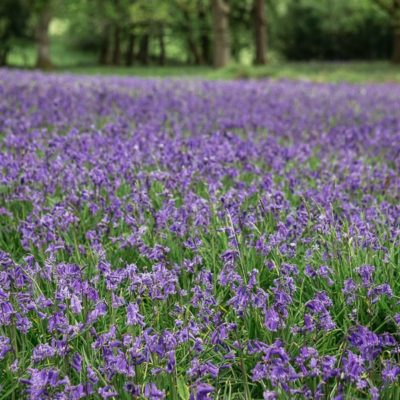Join the Big Bluebell Watch