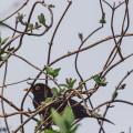 Blackbird and buds