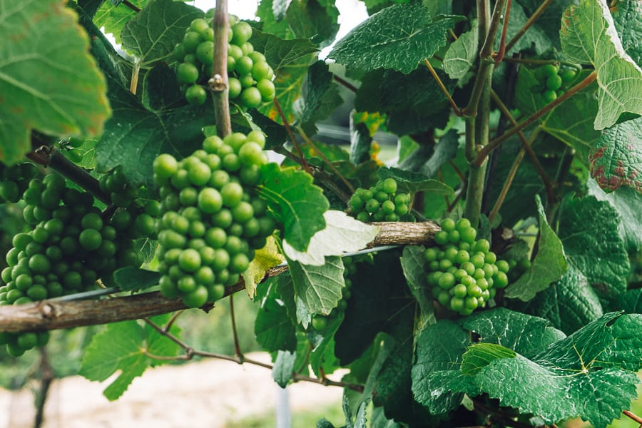 Bluebell vineyard grapes