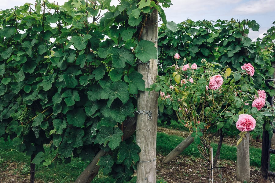 Bluebell vineyard roses and vines