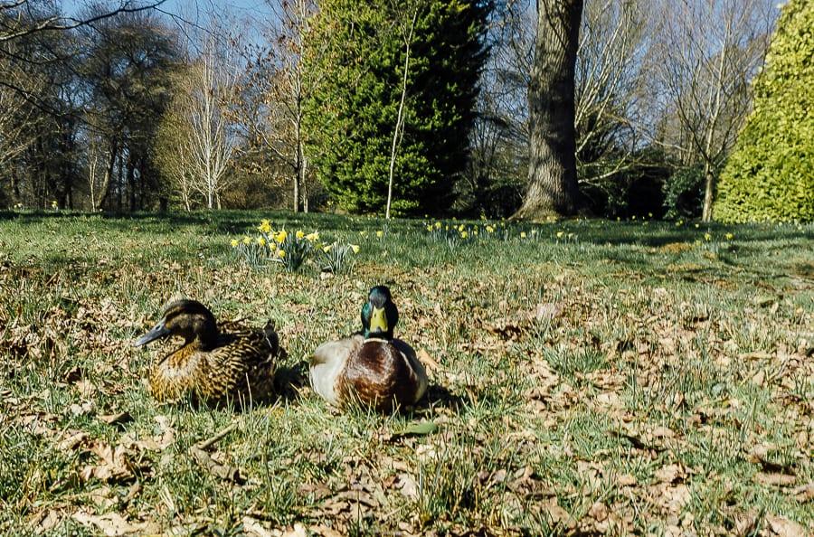 Easter Egg hunt ducks resting