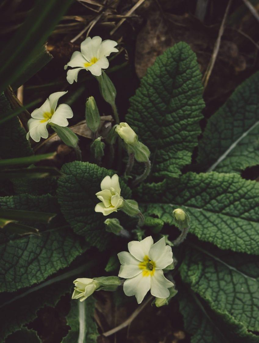 Primroses in woods