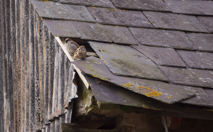 Sparrows on barn roof