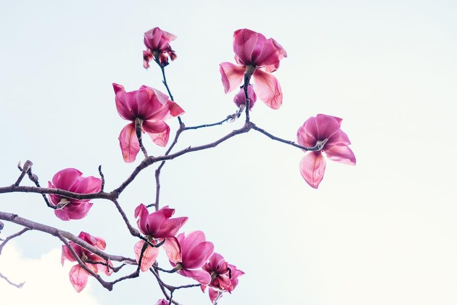 Wakehurst Spring Preview Magnolia flowers