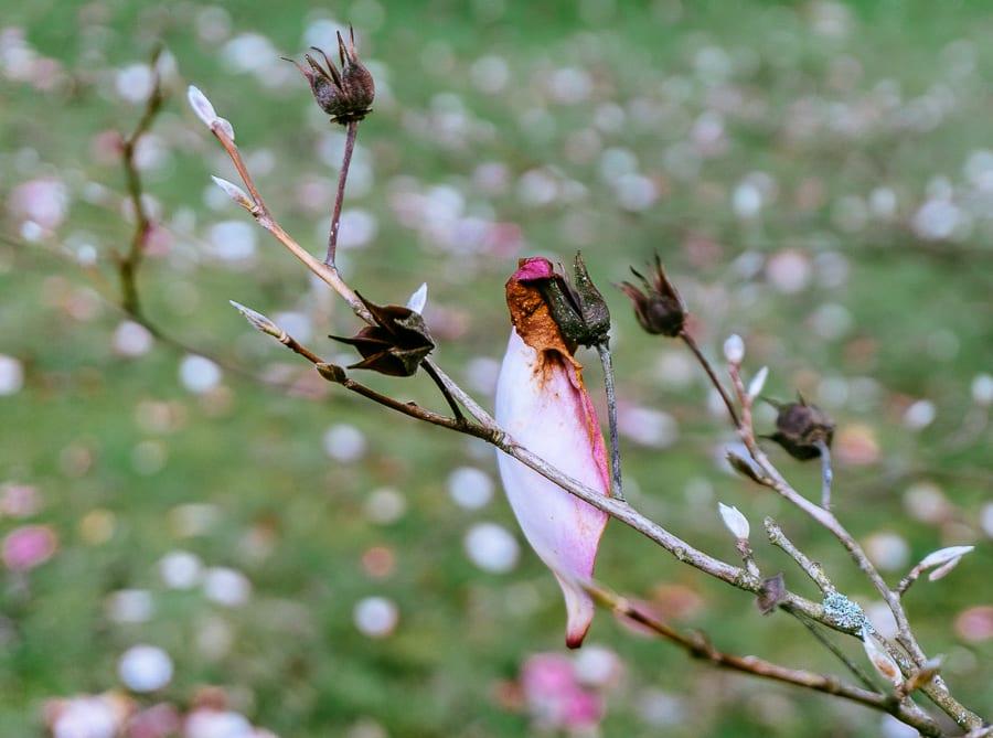 Wakehurst Magnolia petal on branch