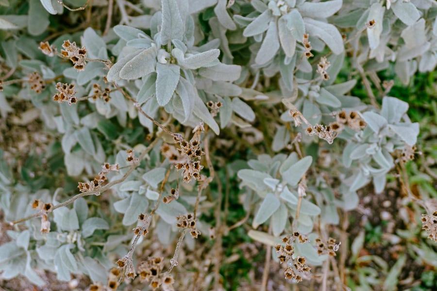 Wakehurst Phlomis purpurea