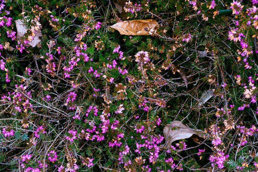 Wakehurst pink heather and leaves