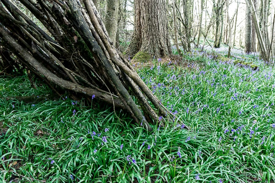 10 bluebell facts for kids in woods