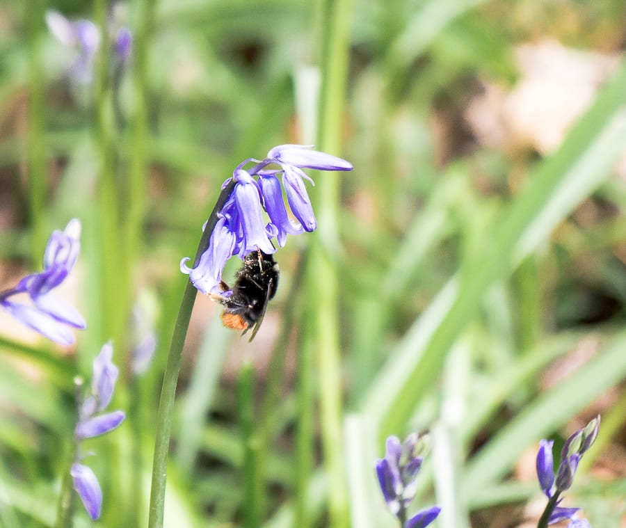 10 fun bluebell facts for kids no 9 bee