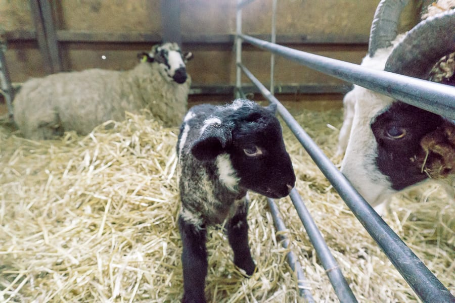 Baby lamb and ewes