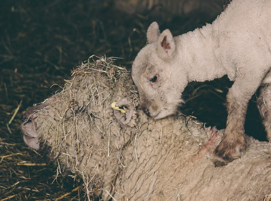 Countryside spring baby lamb and ewe mother