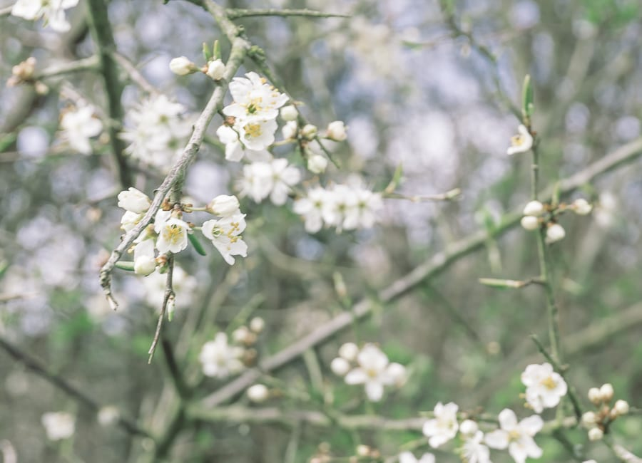 Countryside spring hedgerow blossoms