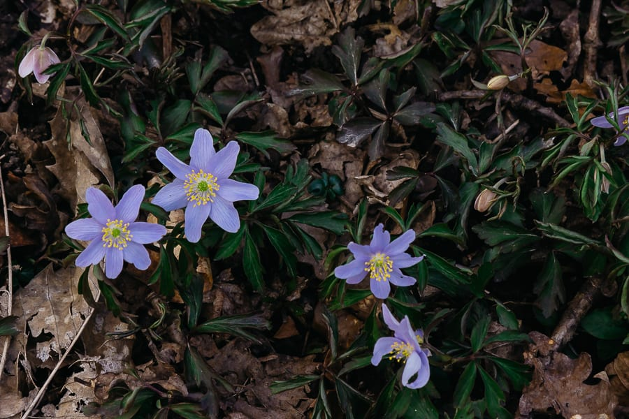 Countryside spring blue anemones
