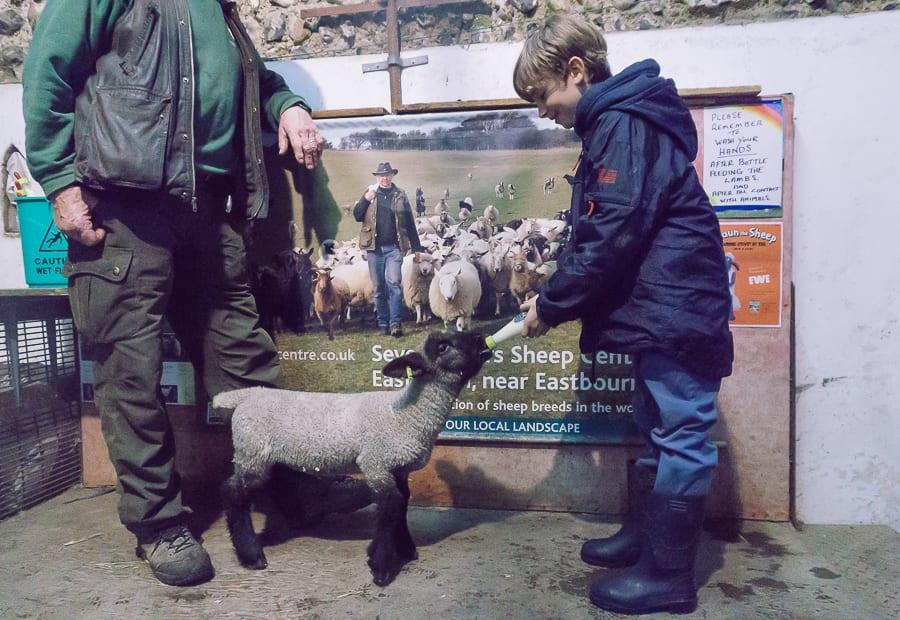 Bottle feeding baby lamb