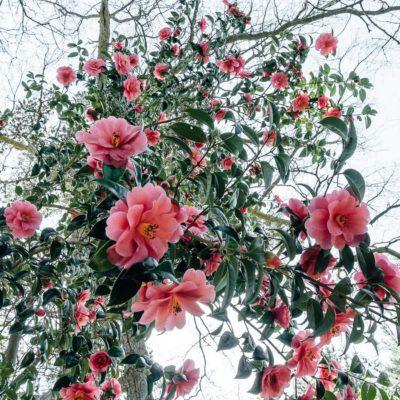 A burst of camellias