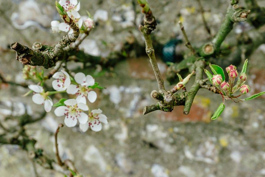 Charleston garden tree blossoms