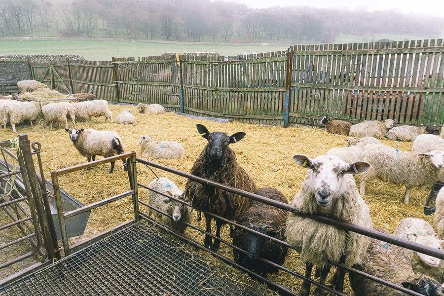 Ewes sheep centre East Dean