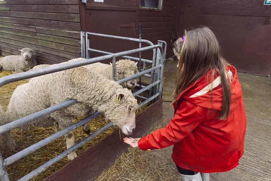 Feeding South Downs sheep