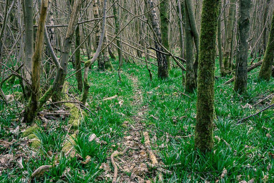 Follow a badger path through the bluebells