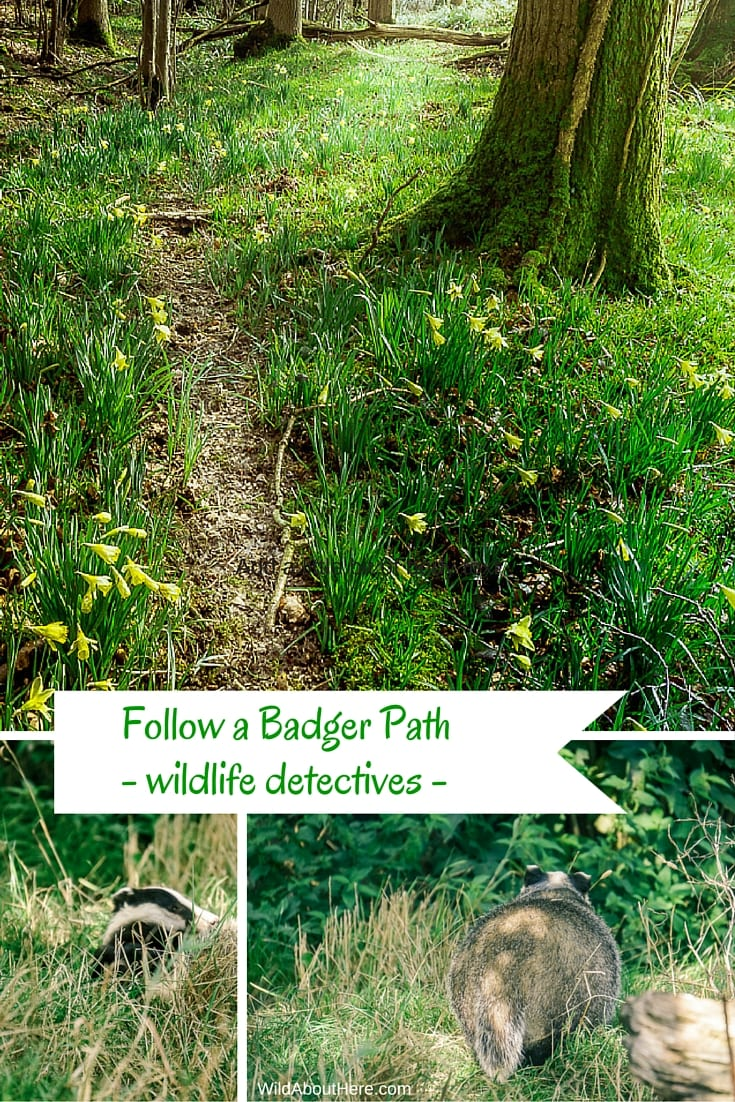 Follow a badger path wildlife detectives