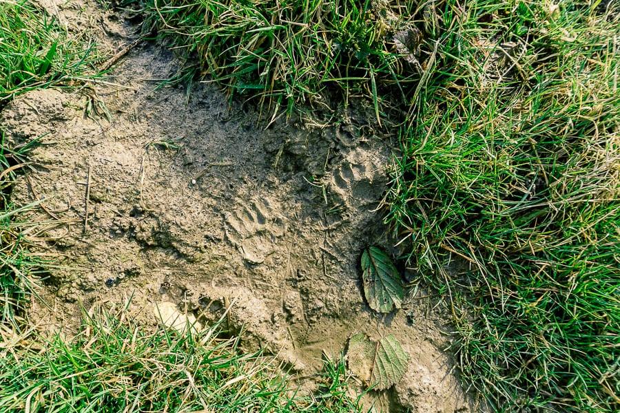 Follow badger path double tracks