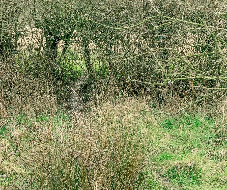 Follow badger path under hedge