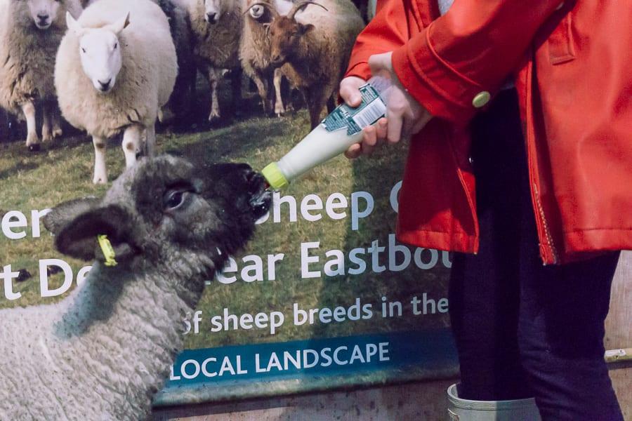 Orphan lamb drinking from milk bottle
