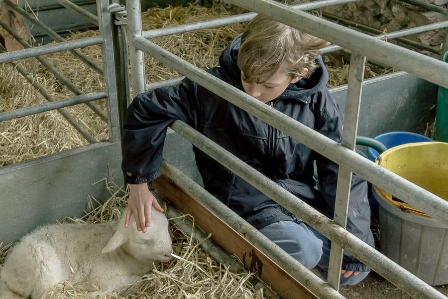 Petting baby lamb