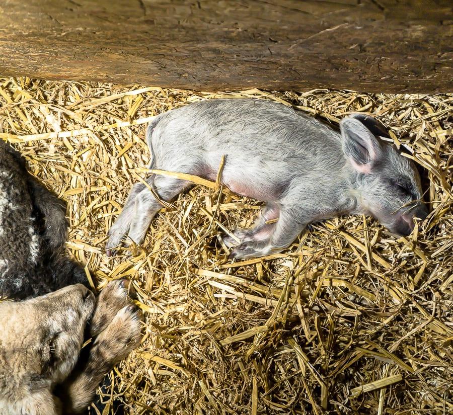 Runt piglet sleeping